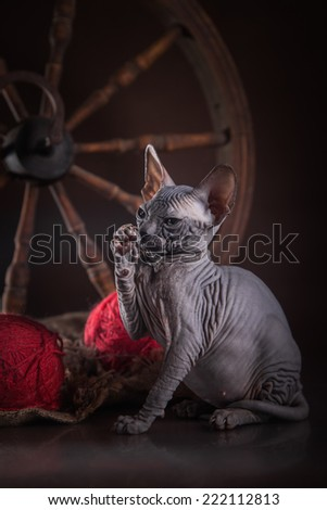 Canadian sphynx in a rustic interior - stock photo