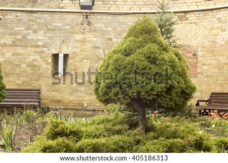 Canadian spruce tree bluish Konica - stock photo