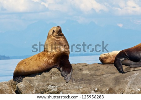Canadian Stellar Sea Lions sitting on a rock close to Vancouver - stock photo