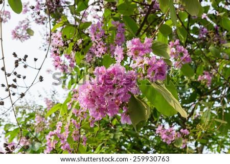Cananga flower (Cananga odorata) on tree. - stock photo