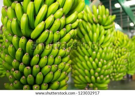 Canarian Banana Platano in La Palma canary Islands - stock photo