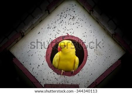 canary bird - stock photo