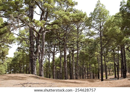Canary pine tree forest in El Hierro, Spain. - stock photo