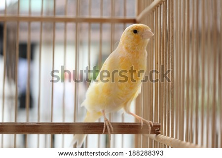 canary yellow nest comes from asia - stock photo