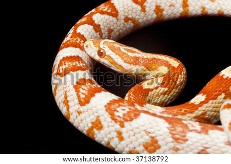 Baby Candy Cane Corn Snake Candy Cane Corn Snake Elaphe