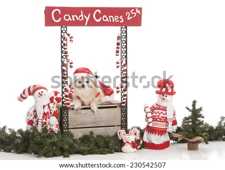 Candy Canes for Sale.  Adorable Pomeranian wearing a Mrs. Clause dress sitting in a Candy Cane booth.  Isolated on white with room for your text.  - stock photo