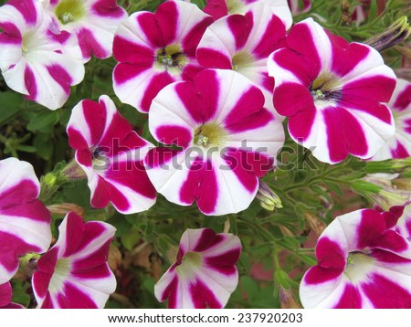 Candy striped petunia flowers with red and white petals - stock photo