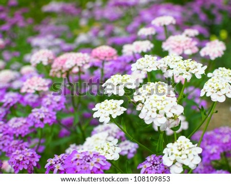 Candytuft flower - stock photo
