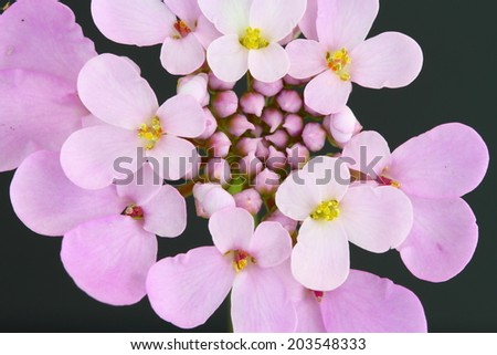 Candytuft (Iberis) - stock photo