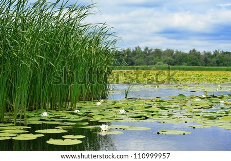 Cane and white lilies on the lake against the cloudy sky - stock photo