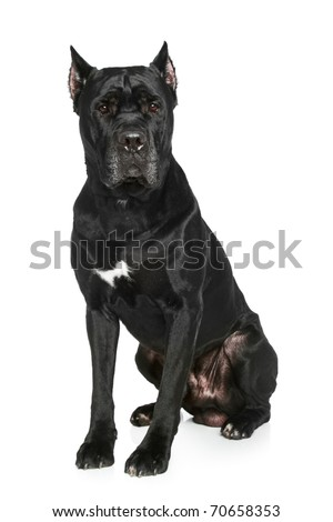 Cane Corso breed dog on a white background - stock photo