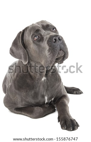 Cane Corso breed dog on a white background in studio - stock photo