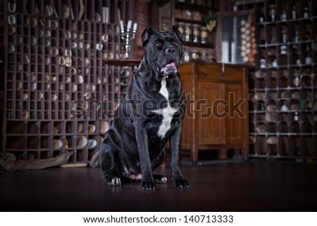 Cane Corso dog - stock photo