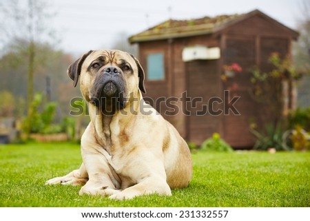 Cane corso dog is lying in the garden - stock photo