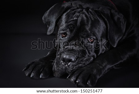 Cane Corso dog mystical black - stock photo