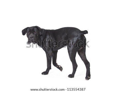 Cane Corso isolated in front of white background, Cane Corso - stock photo
