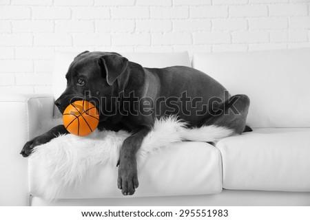 Cane corso italiano dog lying on sofa with ball at home - stock photo