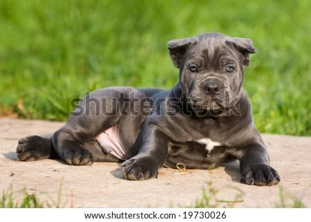 Cane Corso Italiano puppy in outdoor settings - stock photo