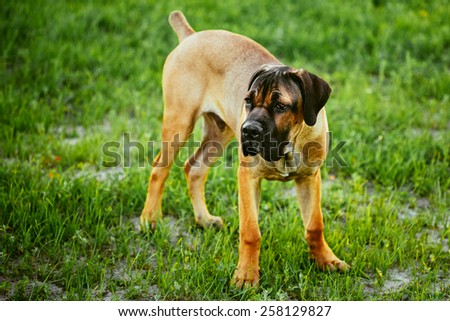 Cane Corso Whelp Puppy Standing On Green Grass Outdoor - stock photo