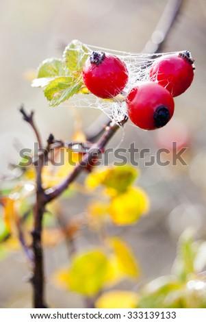 canina rosa with ripe red berries / rose hip /  šípek / Pometum - stock photo
