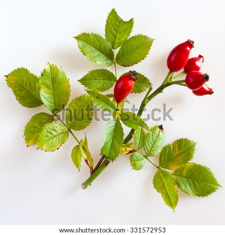 canina rosa with ripe red berries / rose hip / Pometum - stock photo