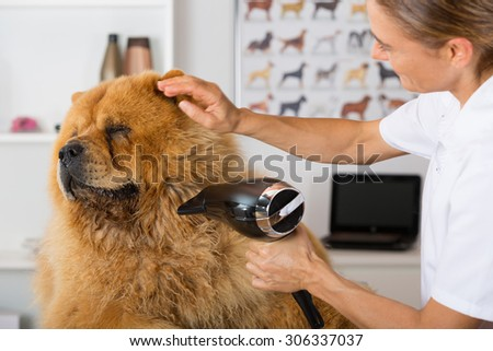 Canine hairdresser in a beauty clinic with Chow Chow - stock photo