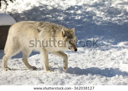 Canis lupus occidentalis  - Canadian/Rocky Mountain gray wolf - stock photo