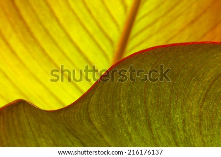 Canna Lily Leaf curves and texture - stock photo