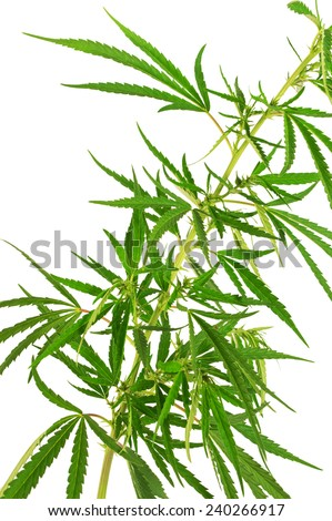 Cannabis branch isolated on white background  - stock photo