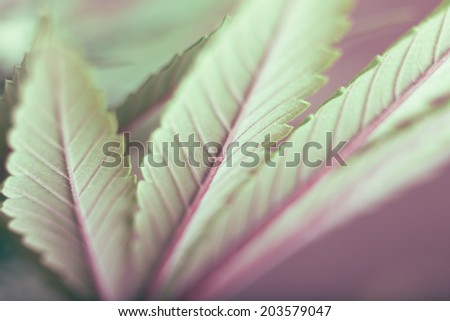 Cannabis leaf - stock photo