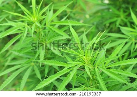 Cannabis plant - stock photo