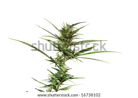 Cannabis plant in blossom isolated - stock photo