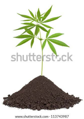 Cannabis plant in soil - stock photo