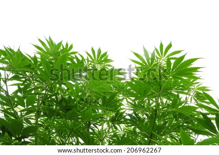 Cannabis plant in vegetative stage - stock photo
