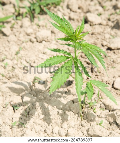 Cannabis plant industrial - stock photo