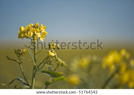 canola - stock photo