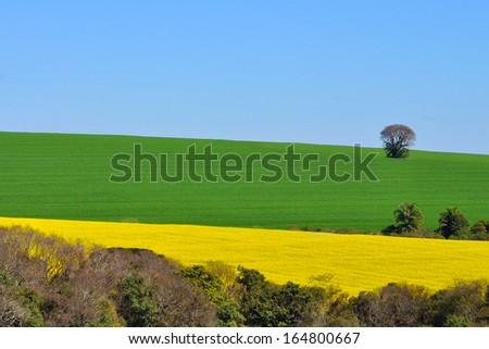 canola and  soybean plantation - stock photo