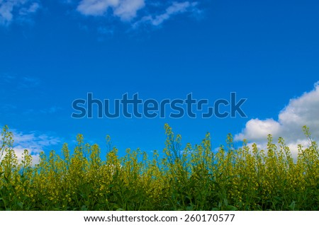 Canola blooming yellow with the blue sky and some clouds.  - stock photo