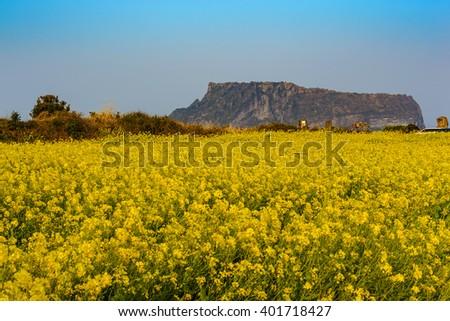 Canola field at Seongsan Ilchulbong, Jeju, South Korea - stock photo