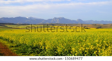 Canola field in the Overberg - South Africa - stock photo
