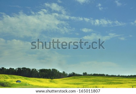 Canola field in the prairie province in summer - stock photo