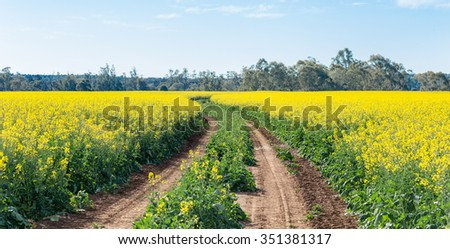canola fields bright yellow flowers used in production of canola oil and butter. Central NSW Australia - stock photo