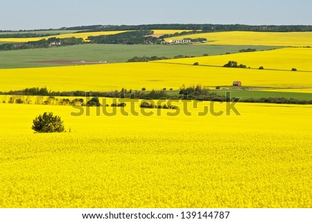 Canola fields in summer - stock photo