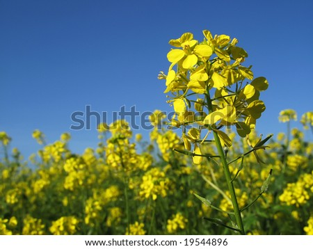Canola with blue sky horizontal - stock photo