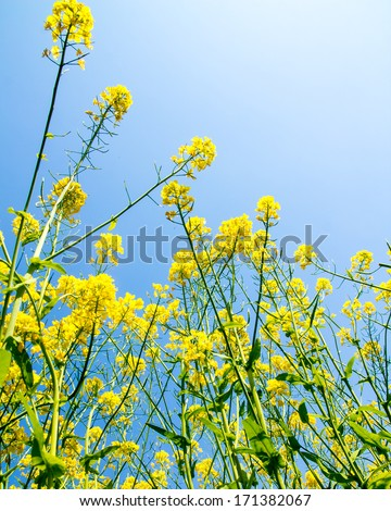 Canola, yellow Rapeseed flowers grown as cooking oil or conversion to biodiesel - stock photo