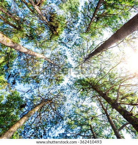 Canopy Of Tall Pine Trees. Upper Branches Of Woods  - stock photo