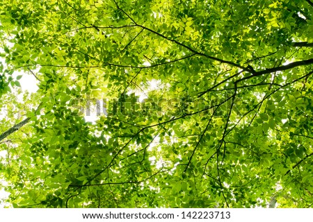 Canopy of  trees at summer with lush foliage. - stock photo