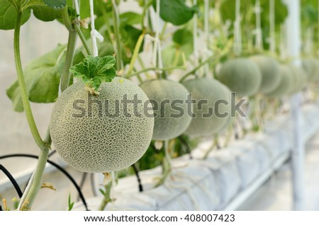 Cantaloupe melon growing in a greenhouse . - stock photo