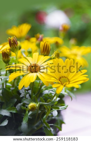 Cape African Daisy or Osteospermum flower - stock photo