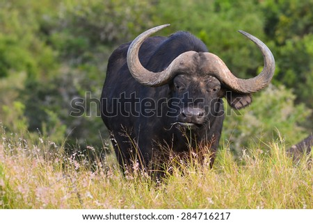 Cape Buffalo - stock photo